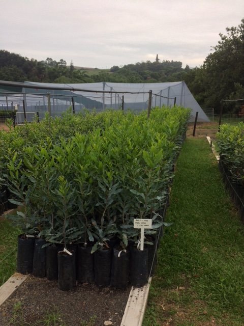 Trees ready for collection | Cultivating Solutions